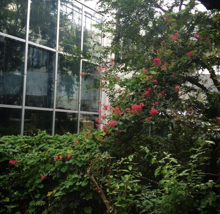 中庭の百日紅は満開
