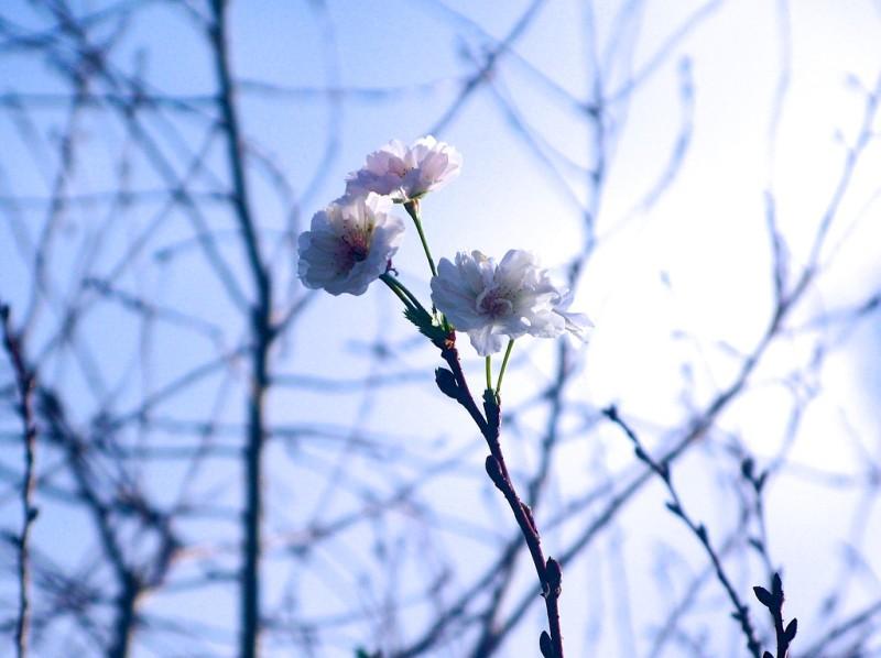 咲きたい気分なので咲きます。まわりは咲いてないけど。