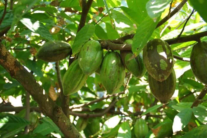 1本のカカオの木からたくさんのカカオポッドが収穫できます