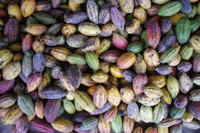 収穫されたばかりのカカオポッド。鮮やかで美しいのです