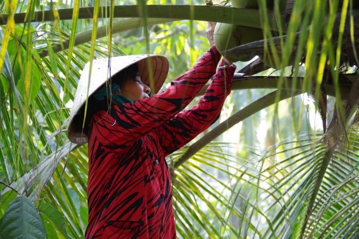 カカオファームにあるココナッツの木。お母さんがその場で切り出してくれてフレッシュココナッツジュースを楽しみました。贅沢!