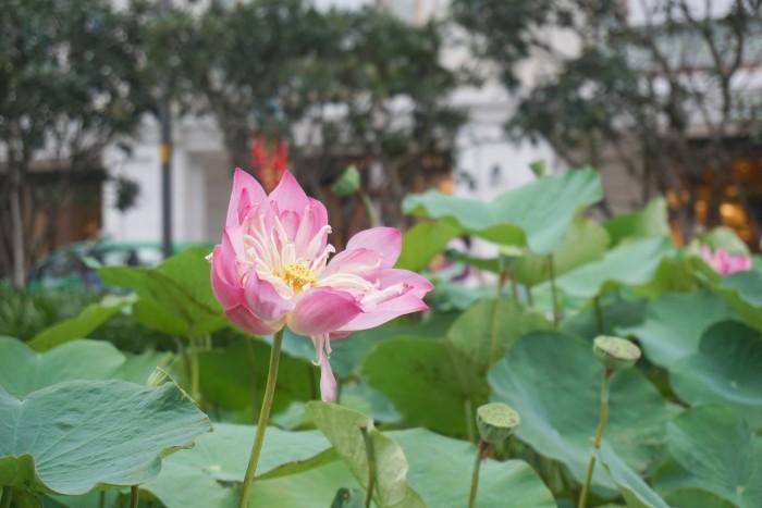 ベトナムのシンボル蓮の花。花の前では写真を撮る人がたくさん