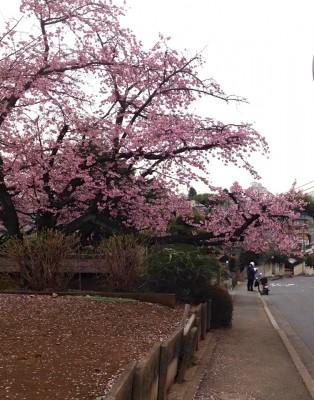 やっと、桜が花開くー