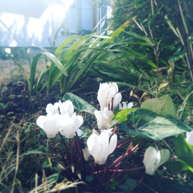 春来たる。庭に白きシクラメン。
