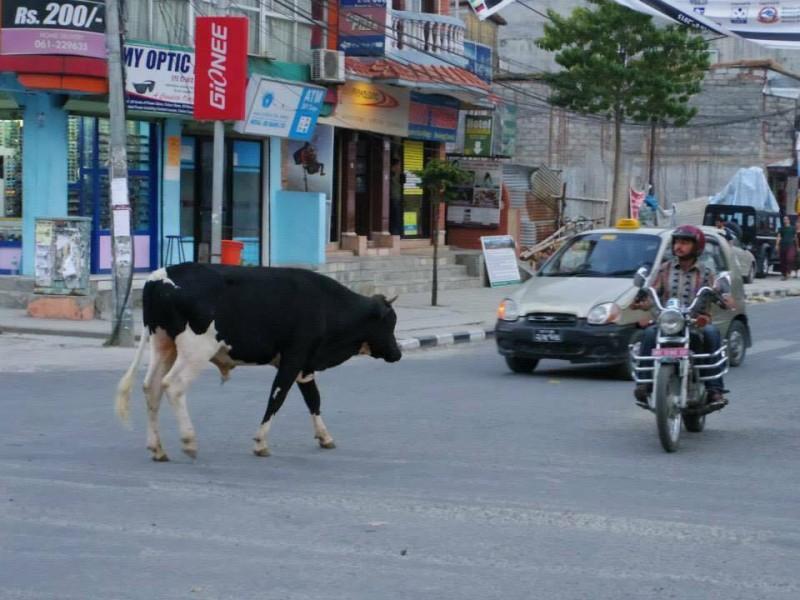 牛さん、邪魔だよ。道路を我が物顔で堂々と歩いている(笑)。みんなちゃんと避けて走ってくれるからね