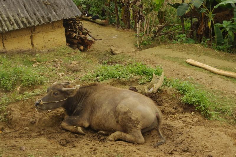 マーケットの帰り道に立ち寄った、ベトナム・モン族の村にて牛が泥遊び中。実際に村を歩き、生活の様子を生で見ることで少しずつ理解が深まります。